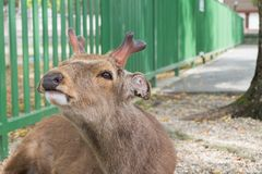 Un jeune mâle de cerfs communs rouges au parc à Nara, Japon photo stock