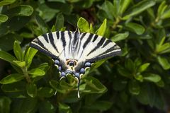 Un jeune machaon de Papilio sur feuilles vertes de buisson photos libres de droits