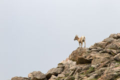 Un jeune mouton de montagne s'élevant sur le flanc de coteau rocheux Images libres de droits