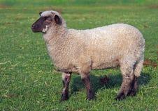 Un jeune mouton du Suffolk Images libres de droits