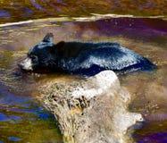 Un jeune ours noir #2 image stock