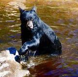 Un jeune ours noir #3 photographie stock libre de droits