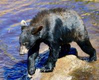 Un jeune ours noir #4 images libres de droits