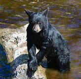 Un jeune ours noir 6 photographie stock libre de droits