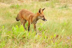 Un jeune petit animal de renard prend sa première aventure photographie stock