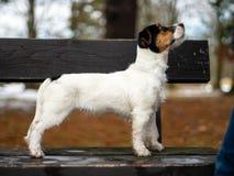 Un jeune petit chien blanc Jack Russell Terrier pose pour une image sur un banc en parc d'hiver photographie stock libre de droits