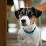 Un jeune petit chien blanc Jack Russell Terrier pose pour une image sur un banc en parc d'hiver images stock