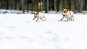 Un jeune petit chien blanc Jack Russell Terrier pose pour une image sur un banc en parc d'hiver photo libre de droits
