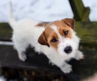 Un jeune petit chien blanc Jack Russell Terrier pose pour une image sur un banc en parc d'hiver image stock