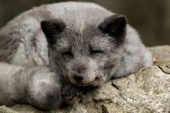 Un jeune renard polaire se repose sur une roche Photographie stock libre de droits