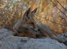 Un jeune renard rouge se reposant pendant le début de la matinée Photo stock