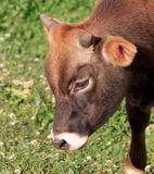 Un jeune taureau Photographie stock libre de droits
