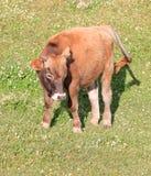 Un jeune taureau Photo stock
