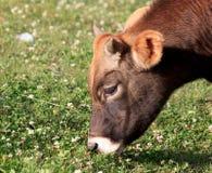 Un jeune taureau Photographie stock