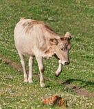 Un jeune taureau Image stock