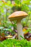 Un jeunes boletus d'orange-chapeau de Forest Mushroom et x28 comestibles ; Aurantiacum& x29 de Leccinum ; Parmi la mousse verte Image libre de droits
