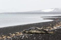 Un joint sur une plage Image libre de droits