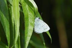 Un joli argiolus de Holly Blue Butterfly Celastrina étant perché sur une feuille de saule Image libre de droits