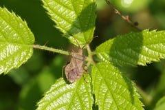 Un joli marginatus de Coreus d'insecte de dock étant perché sur une feuille image stock