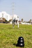 Pitbull fonctionnant pour poursuivre le jouet sur l'herbe de parc images libres de droits