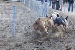 Un jour aux petites courses de porc Photos libres de droits