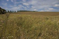 Un jour ensoleillé avec un ciel bleu et nuages blancs gonflés dans un pré d'or photos libres de droits