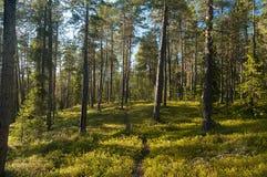Un jour ensoleillé dans une forêt de pin Images libres de droits