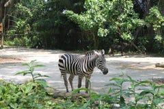 Un jour pendant la vie du zèbre, zoo de Singapour Fond animal image libre de droits