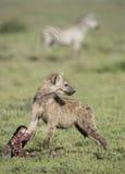 Un joven manchó el Hyena con un cráneo del wildebeest, Tanzania Imagenes de archivo