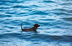 Un juego negro de Labrador en agua azul Imagen de archivo
