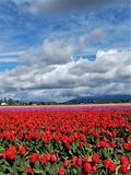 Un kaléidoscope des tulipes colorées image libre de droits