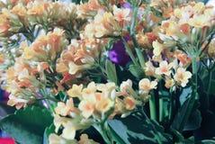 Un kalanchoe giallo in fioritura Fotografia Stock Libera da Diritti