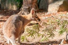 Un kangourou australien gris occidental avec le joey regardant hors de la poche, mange des feuilles Photographie stock libre de droits