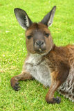 Un kangourou détendant sur l'herbe l'australie photos stock