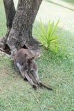 Un kangourou de détente Photographie stock