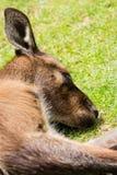 Un kangourou de sommeil Photos libres de droits