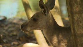 Un kangourou recherchant comme il entend un bruit banque de vidéos