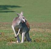 Un kangourou rouge décidant sa prochaine étape Photo stock