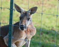 Un kangourou rouge voulant être gratuit Photos libres de droits