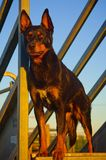 Un Kelpie australien Photo stock