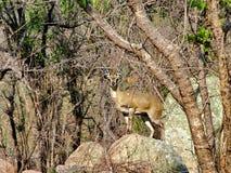 Un Klipspringer sopra una roccia Fotografie Stock Libere da Diritti