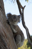 Un koala de pose Photographie stock
