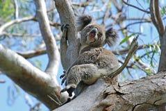 Un Koala salvaje libremente en la isla Australia de Stradbroke Fotos de archivo