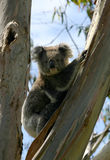 Un koala sauvage photo stock
