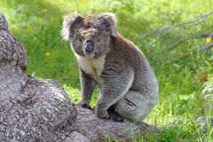 Un koala se reposant sur un tronc d'arbre l'australie Photo libre de droits