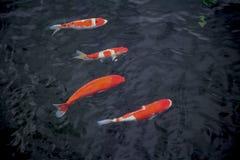 Un koi dei quattro giapponesi in una riga Fotografie Stock Libere da Diritti