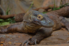Un Komodo Dragon Up-Close fotografia stock