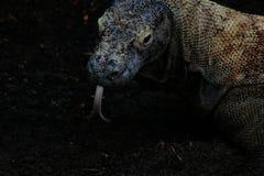 Un komodoensis grande salvaje del varanus del dragón de komodo descansa su cabeza en el pedazo de madera cerca la estación del gu fotografía de archivo