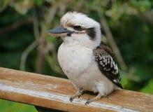 Un Kookaburra joven Imágenes de archivo libres de regalías
