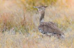 Un kori d'ardeotis d'outarde de Kori, se tenant dans l'herbe en parc national de Kruger, une réservation de jeu dans les sud photos stock